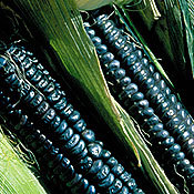 Corn_black_aztec.full