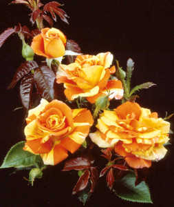 Rose, Shrub 'Oranges 'N' Lemons'