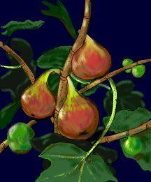 Fig, 'Brown Turkey'
