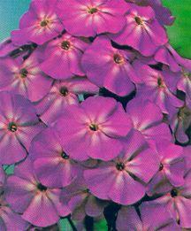Phlox, Summer Garden 'Franz Schubert'