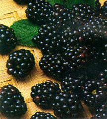 Blackberry, Chester Thornfree