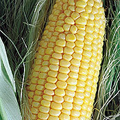 Corn_true_gold_sweet.full