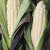 Corn_true_platinum.full