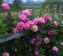 Rose, Antique Climbing China 'Old Blush'