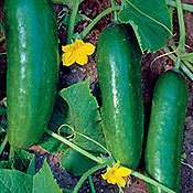 Cucumber_mideast_prolific.full