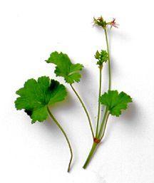 Scented Geranium, Pina Colada