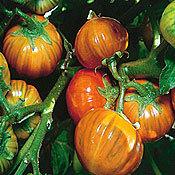 Eggplant_turkish_orange.full