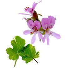 Scented_geraniums_pelargonium_vitifolim_variegated-1.full