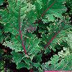 siberian kale (Pabularia Group)