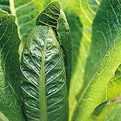 Lettuce_seed_barcarole.full