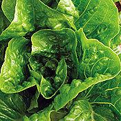 Lettuce_winter_density.full