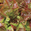 Lettuce_carmona_red.thumb
