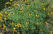 Prairie Coneflower, Yellow