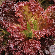 Lettuce_dark_lolla_rossa.full