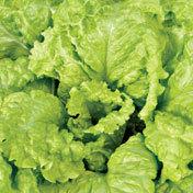 Lettuce_black_seeded_simpson.full