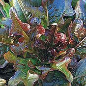 Lettuce_bronze_arrow.full