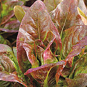 Lettuce_red_deer_tongue.full