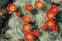 Cactus, Spiny Hedgehog