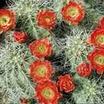 California hedgehog cactus