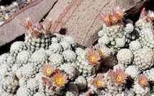 Cactus, Lee's Dwarf Snowball