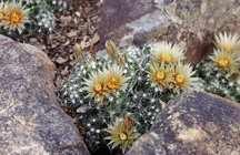 Cactus, Plain's Pincushion