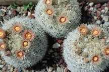 Cactus, Koenig's Snowball