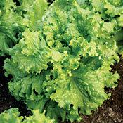 Lettuce_waldmanns.full