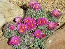 Cactus, Clustering Pin Cushions