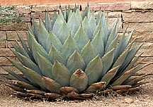 Agave, Parry's Century Plant