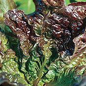 Lettuce_sweet_valentine.full