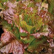 Lettuce_outstanding_romaine.full