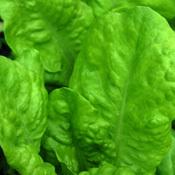Lettuce_butterking.full