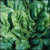 Lettuce_buttercrunch.full