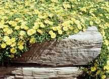 Ice Plant, Hardy Yellow