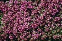 All_plants_thymus_serpyllum_coccineum-1.full