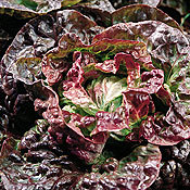 Lettuce_continuity_red_crisphead.full