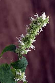 All_plants_agastache_foeniculum_snowspire-1.full