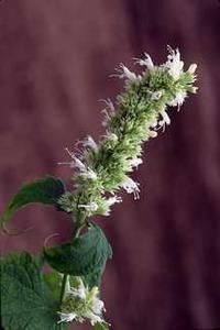 Mint, Hummingbird 'Snowspire'