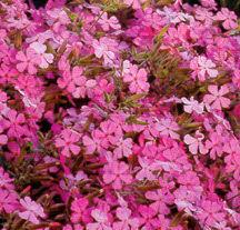 Soapwort, Giant Flowered