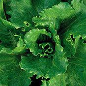 Lettuce_formidana.full