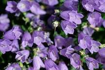 All_plants_campanula_cochlearifolia_bavaria_blue-1.full