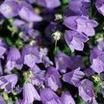 Bellflower, Dwarf 'Bavaria Blue'