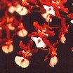 Oncidium Orchid, Sharry Baby