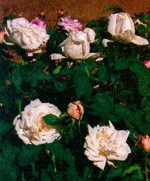 Rose, Antique Hybrid Perpetual 'Frau Karl Druschki' (1901)