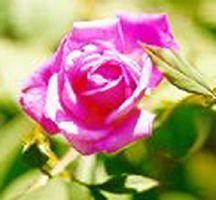 Rose, Antique Tea 'Mrs. B. R. Cant' (1901)