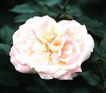 Rose, Antique Tea 'Mrs. Dudley Cross' (1907)