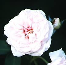 Rose, Antique Bourbon 'Souvenir de La Malmaison' (1843)