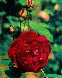 Rose, Antique Hybrid Perpetual 'Souvenir du Docteur Jamain' (1865)