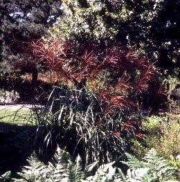 Grass, Maiden 'Kascade'