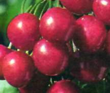 Cherry Tree, Starkrimson® Sweet semi-dwarf